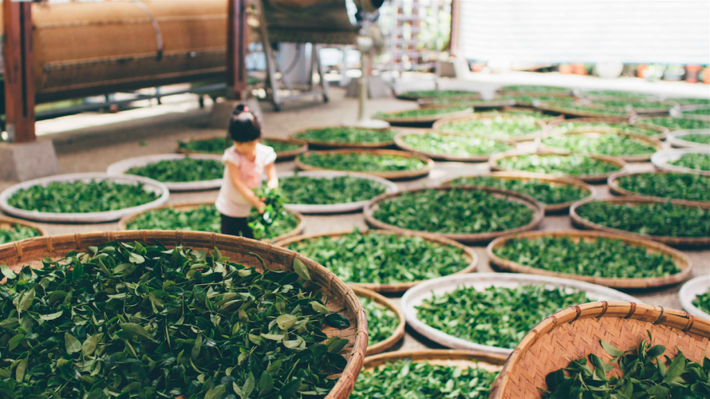 tea leaf farming